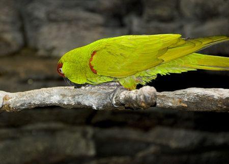 green parrot in a zoo exhibit closeup