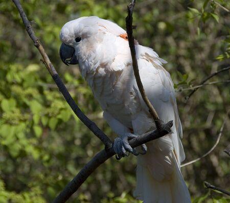 white cockatoo in a zoo exhibit closeup