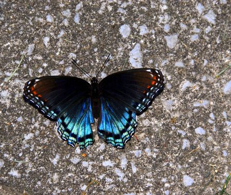 bright blue butterfly with white red and black closeup