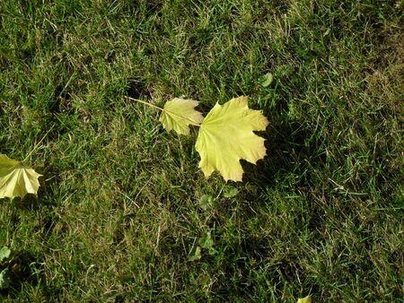 last golden leaves of autumn on grass