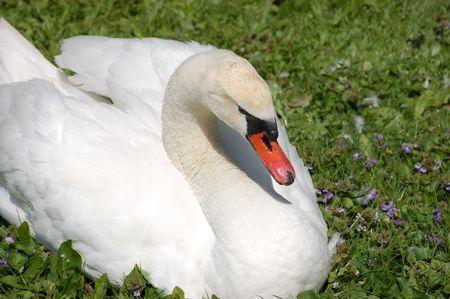 white female swan preening her feathers closeup photo
