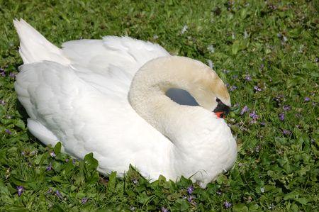 white female swan preening her feathers closeup