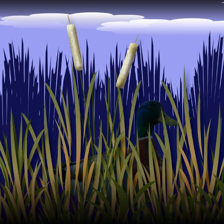 secluded: mallard duck sitting behind cat tails illustration