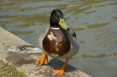 duck feet: colorful mallard duck with orange feet closeup