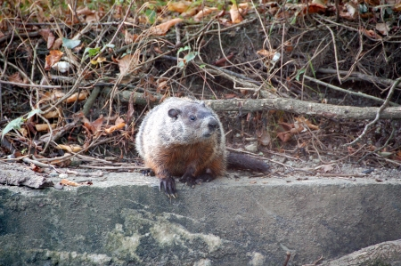 sitting on the ground: ground hog sitting on concrete retaining wall close up  Stock Photo