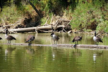 canadian geese: Canadian geese sunning on a fallen tree