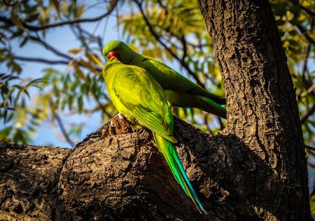 green lovebirds on branch
