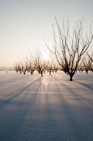 dry trees in snow area