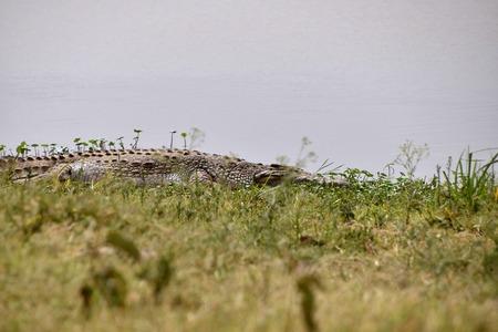 field with green grass crocodile