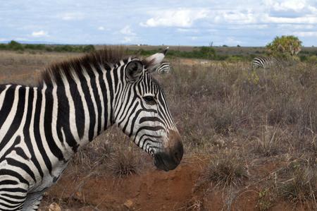 zebra faces gray grasses Stock Photo