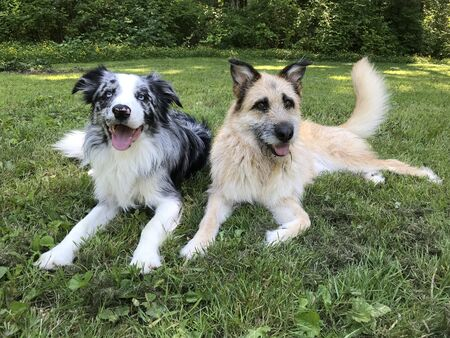 Belgian Laekenois puppy