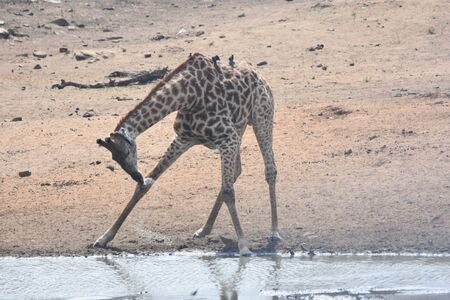 giraffe near water