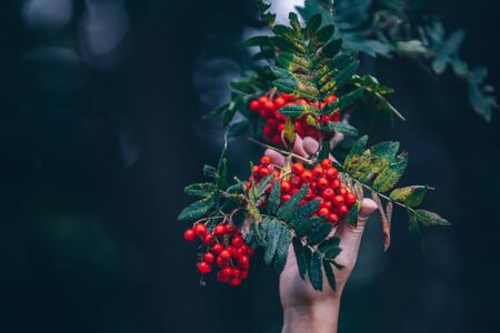 person holding red berry 写真素材