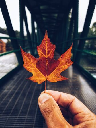 person holding dried orange and brown maple leaf