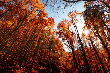 Tall trees in the forest with falling orange leaves on them.