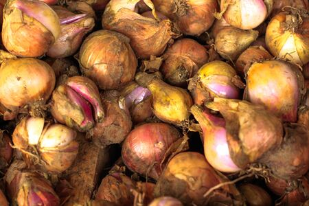bunch of fresh picked onions Archivio Fotografico - 128230798
