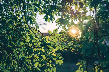 The sun shining through a layer of tree twigs with leaves. 版權商用圖片