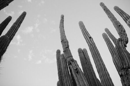 gray-scale photo of cactus plant Banque d'images - 132238509