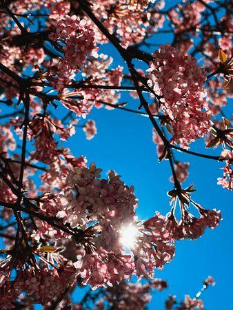 Cherry blossoms Reklamní fotografie