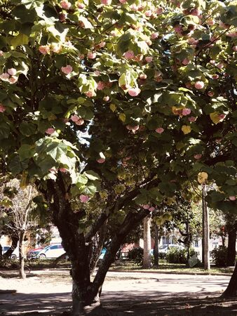 Large tree with blooming pink flowers