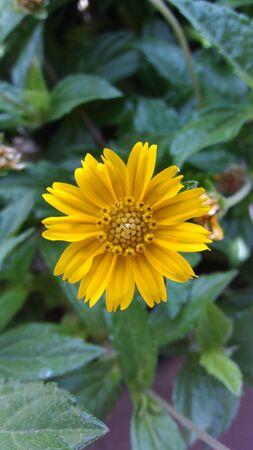 yellow petaled sunflower Zdjęcie Seryjne