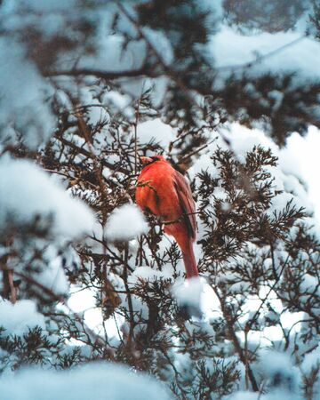 red bird in tree with snow close-up photography Banque d'images - 132239624