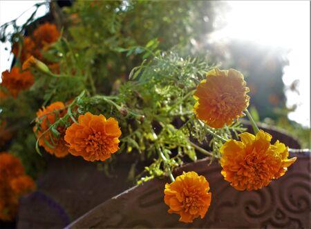 orange flowers Zdjęcie Seryjne
