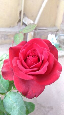 red rose Imagens