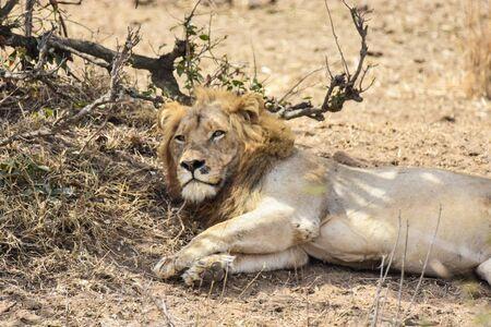 lion lying on brown soil