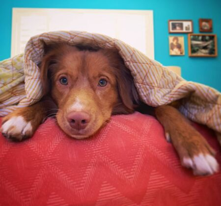 Short-coated brown dog lying on red textile