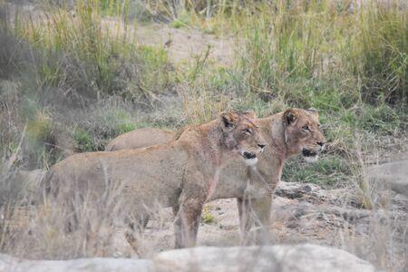 two lioness near green field