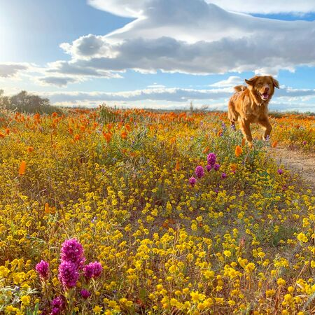 Brown dog running from flower field