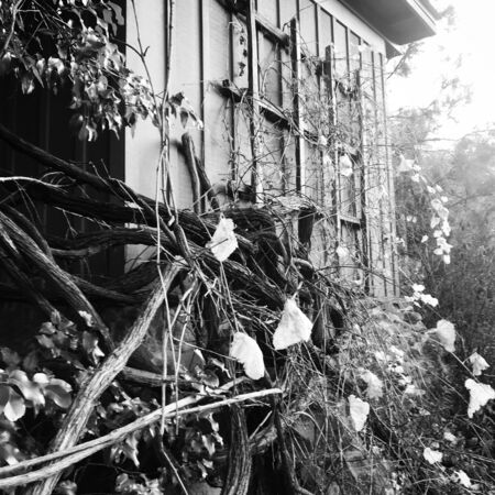 Grayscale photo of vines on a wall Banque d'images - 132239301