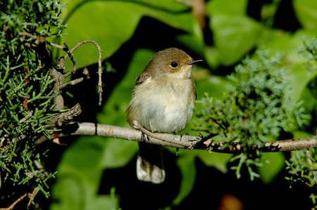 birdwatching: Pied Flycatcher (Ficedula hypoleuca)