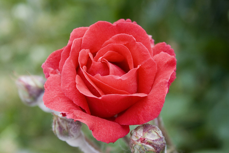 Red Rose close up 版權商用圖片