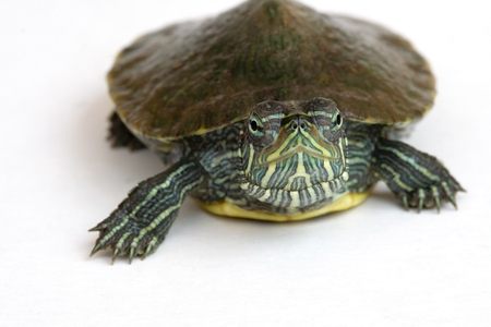 Cute Red-eared slider turtle on isolated white background.