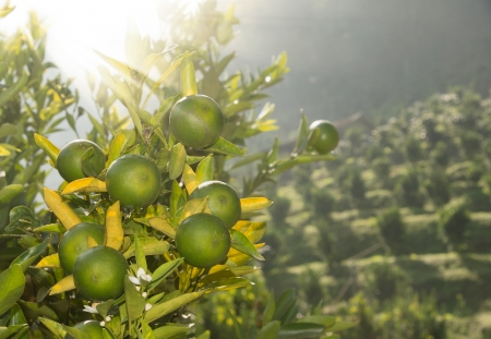 unripe: Orange tree with unripe fruits