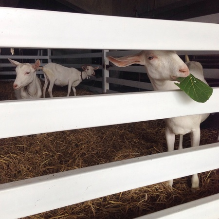 white: White goats in the stall Stock Photo