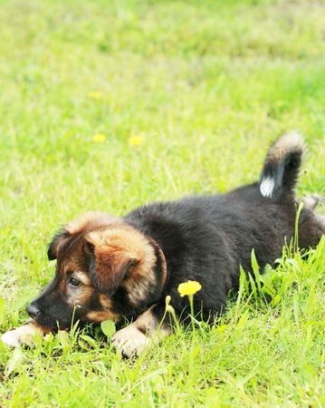 to creep: Funny little puppy creep on grass