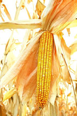 colden: Colden corn in field on sunshine Stock Photo