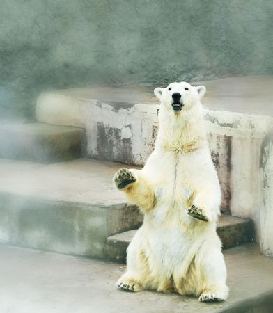 wet bear: Polar bear in zoo