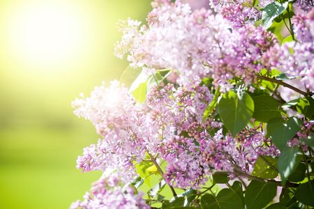 Fresh lilac flowers with spring sunbeams