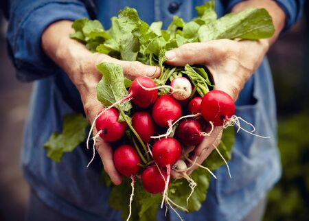produces: Radish harvest in farmer hands Stock Photo