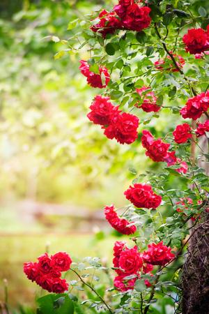 Cornice di rose naturali nel giardino estivo Archivio Fotografico - 61942905