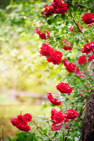 natural arch: Natural roses frame in summer garden Stock Photo