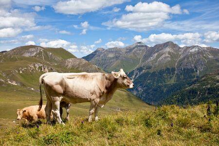 Alpine cows, Austria. photo
