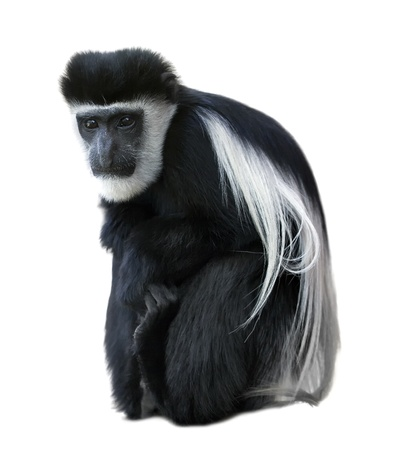 primates: Abyssinian black-and-white colobus - monkey. Stock Photo