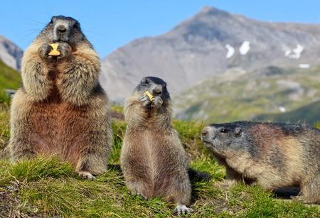 alpen: Ground squirrel in mountainous areas - Europe Stock Photo