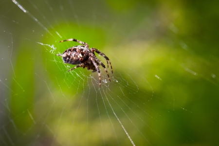 Spider on a spider web photo