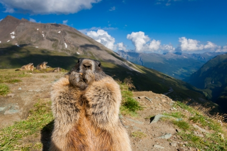 Marmot in the Austrian Alps.